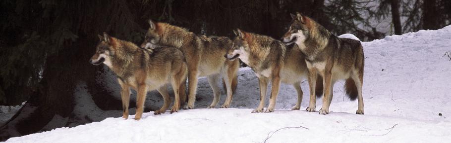 Gesellschaft Zum Schutz Der Wölfe Ev